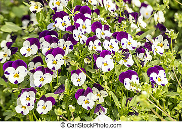 Pansy flowers in garden