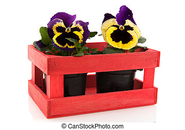 Pansy in wooden crate