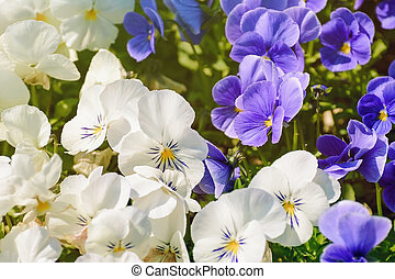 Pansy - Blue And White Pansy Flowers