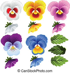 Pansy. Set of different flowers and leaves.