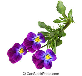 Pansy - Three pansy flowers isolated on white background