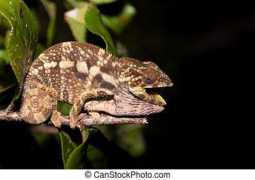 panther chameleon (Furcifer pardalis) Nocturnal photo of...