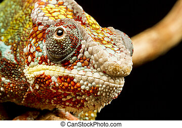 Panther Chameleon (Furcifer pardalis) - Close up of the head...