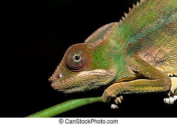 panther chameleon (Furcifer pardalis) in rainforest at...