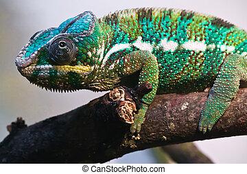 Panther chameleon - Beautiful close up photo of lizard...