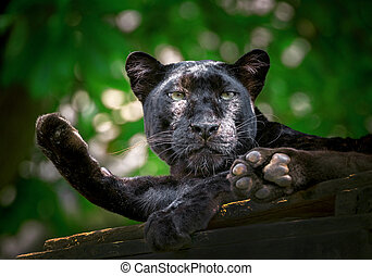 Panther or leopard are resting in the natural atmosphere.