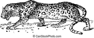 Panther, vintage engraving.