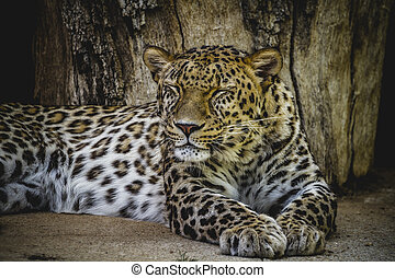panthera, beautiful and powerful leopard resting in the sun