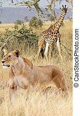 (panthera, camelopardal, leona, leo), (giraffa, jirafa, africano