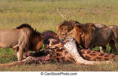 (panthera, essende, savanne, leo), drei, loewen
