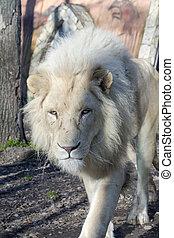 (panthera, krugeri), 白, ライオン, しし座