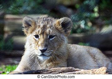 (panthera, leão, goojratensis), filhote, leo, asiático