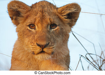 (panthera, leo), lew, szczelnie-do góry, szczeniak