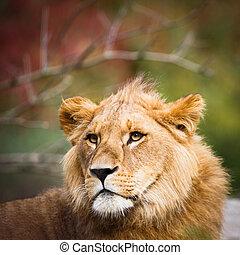 (panthera, szczelnie-do góry, lwica, leo), majestatyczny, portret
