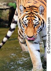 Panthera tigris altaica - Close up of the Siberian tiger...