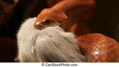 Pantherophis Guttatus feeding - front view close up of a red...