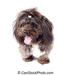 black bichon standing on a white background with mouth open
