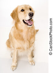 Panting Dog - A dog pants and looks up at her owner