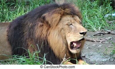 Panting Lion - 1) Video shot of a panting lion.