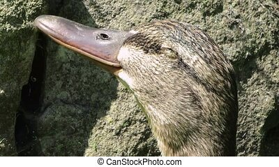 Panting mallard duck on hot day with eye infection. -...