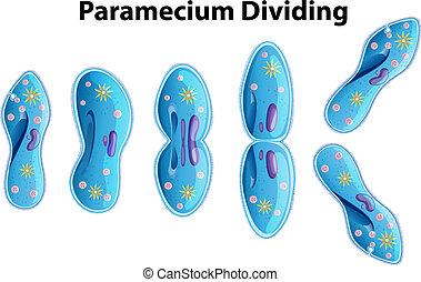 pantofelek, działowy, bacteria, diagram