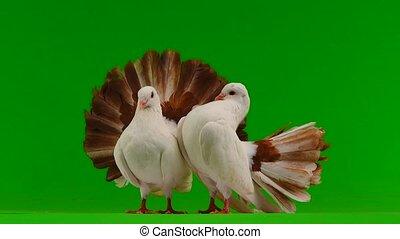 paon, écran, paix, deux, isolé, blanc vert, colombe, symbole