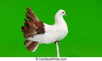 paon, écran, paix, isolé, blanc vert, mâle, colombe, symbole