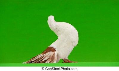 paon, écran, paix, isolé, vert, femme, colombe blanc,...