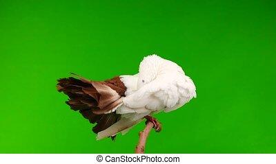 paon, nettoie, écran, paix, plumes, isolé, blanc vert, mâle,...