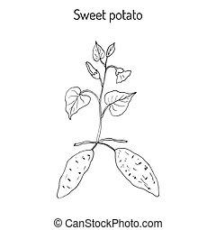papa dulce, batatas, ipomoea