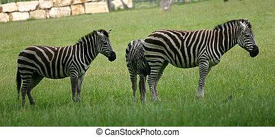 papa, safari, zèbres