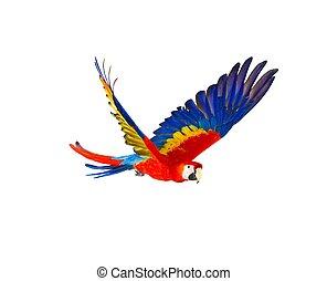 papagáj, elszigetelt, repülés, színpompás, fehér