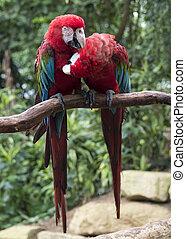 Papagáj, párosít, szeret, piros