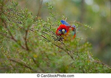 papagaio, em, a, madeiras