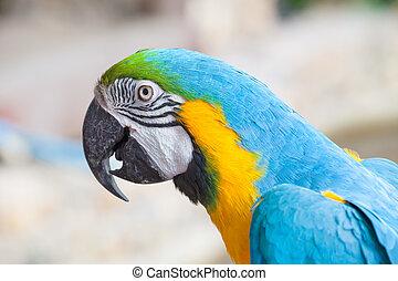 papagallo, colorido