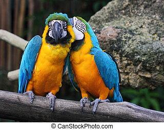 papagallo, cuchicheo