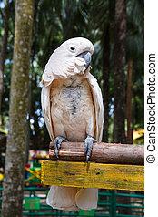 papagallo, loro