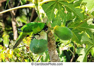 papaia, isola, lealtà, mangiare, parakeet, ouvea, nuova...
