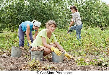 papas, mujeres, cosechar