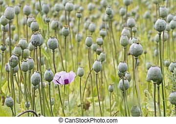 papaver, opium, pavot, somniferum