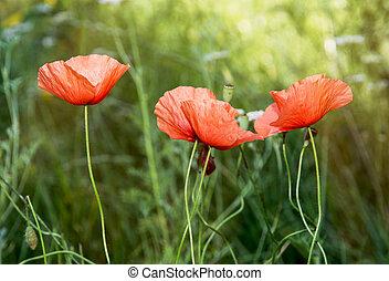 papaver rhoeas, flores, rojo