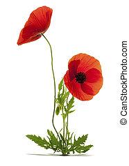 papaver rhoeas, red poppies over white background with shadow and a hole