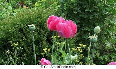 Papaver somniferum or breadseed poppy - pink flowers -...