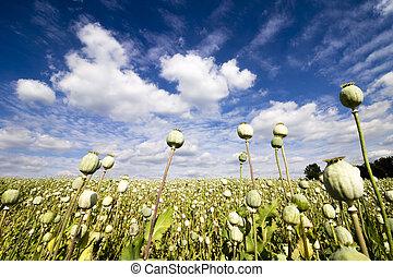 Papaver Somniferum - Summer White Field Poppy Field View in Czech Republic