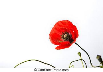 papavero, fiore bianco, fondo