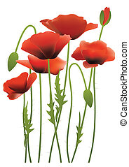 papavero, fiori, rosso