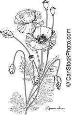 papavero, vettore, botanico, illustrazione