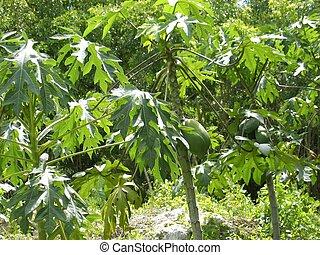 papaya, árbol, tropical, selva, fruits, crecer