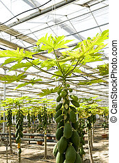 Papaya cultivation in greenhouses. - Papaya cultivation in...