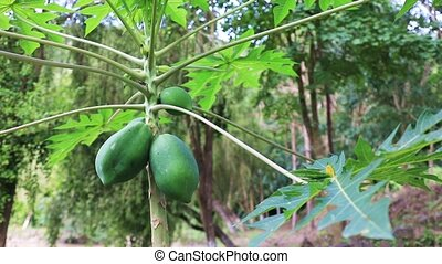 Papaya fruit ripening on the tree